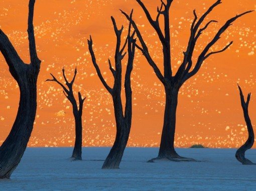 camel-thorn-trees-namibia